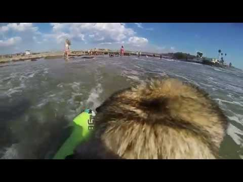 Brandy the Pug Surfing Del Mar With GoPro Fetch