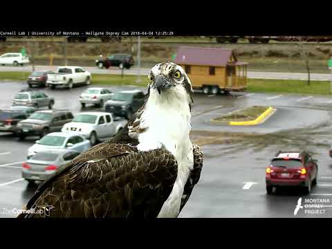 Louis Arrives To Missoula – Hellgate Osprey Cam – April 4, 2017