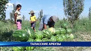 Талас: Планируется увеличить площадь посева арбузов в следующем году - Новости Кыргызстана