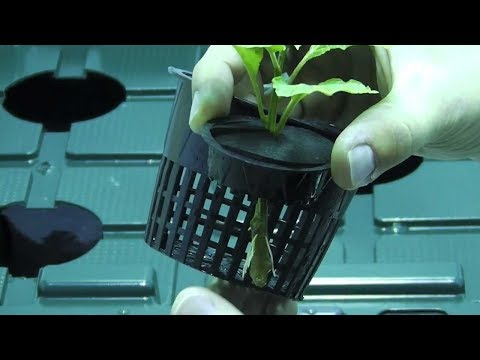 Marijuana Cloning Tutorial (For Hydroponics)