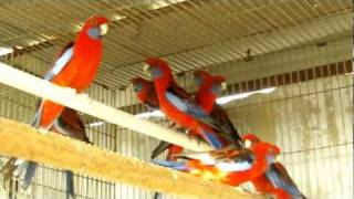 Parrot Facts - Crimson Rosella aviary