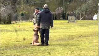 Freddy Australian Cattle Dog Ipo 3. Champion Régional De Picardie De Rci 2015