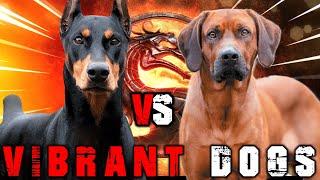 Doberman vs Rhodesian Ridgeback | Rhodesian Ridgeback vs Doberman | Powerful Guard Dog? Billa Boyka