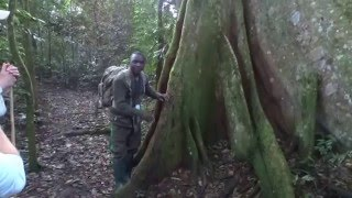Chimps in Cyamudongo Forest Rwanda w/real sound