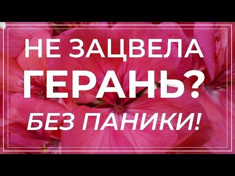 Когда должна цвести герань. Пеларгония не цветет что делать?