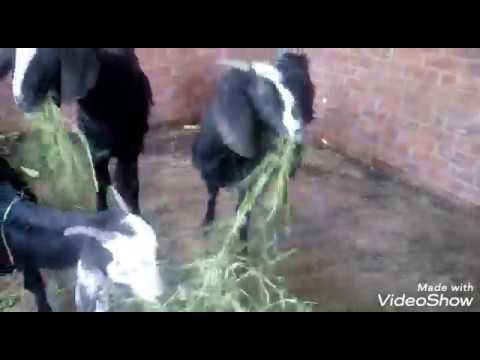 علامات الحمل عند الاغنام والماعز وطريقه العنايه والاهتمام تربيه الماعز والتجهيز للحمل والولاده Youtube