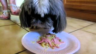 Shih Tzu Dog - Don't Touch My Food!