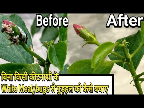 Easiest way to control White Mealybugs on Hibiscus :: without any pesticides - 동영상