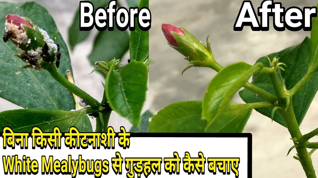 Easiest Way To Control White Mealybugs On Hibiscus Without Any Pesticides