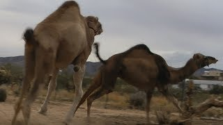 Camels attacking