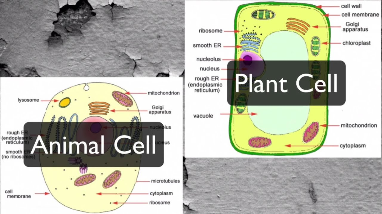 Plant and Animal Cells - Organelles (Middle School Level ...