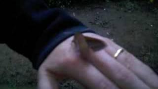 Large Elephant Hawk Moth