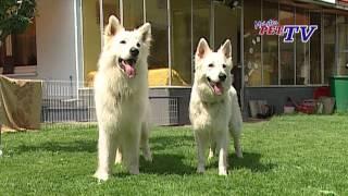 Weißer Schweizer Schäferhund: Informationen Zur Rasse