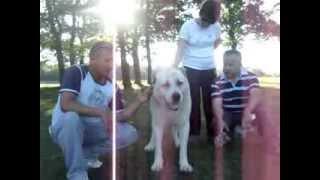 samsun ala çoban köpeği ( KANGAL SAMSUN) 05447143055