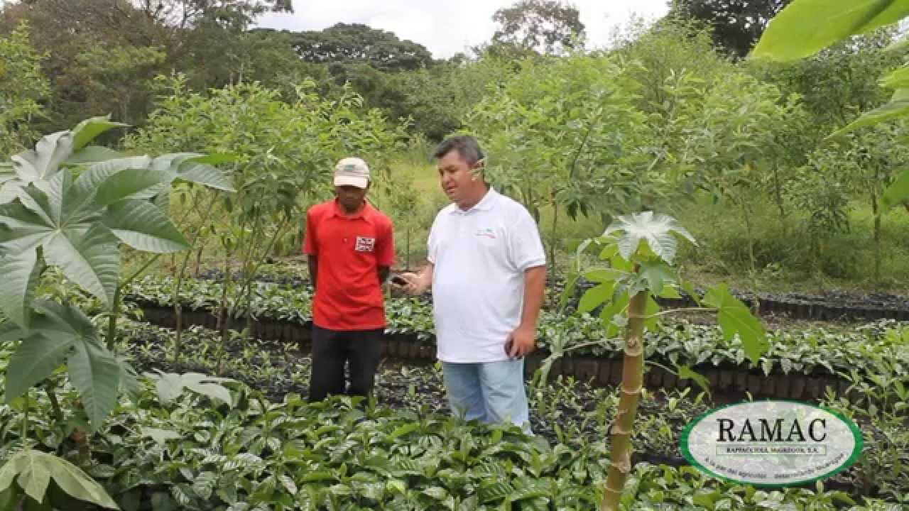 Fase viveros y transplante programa de nutrici n y for Vivero de cafe pdf