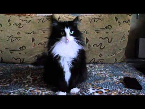 """""""The dog"""" in the cat's skin... simply a Norwegian Forest Cat"""