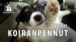 Koirat: Hauska koiranpentu video
