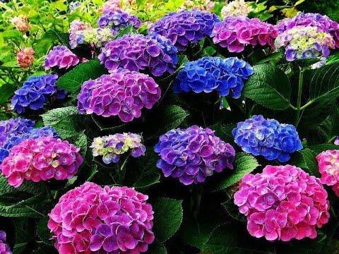 Hortensia uma flor linda saiba como cultiva la youtube - Como podar la hortensia ...