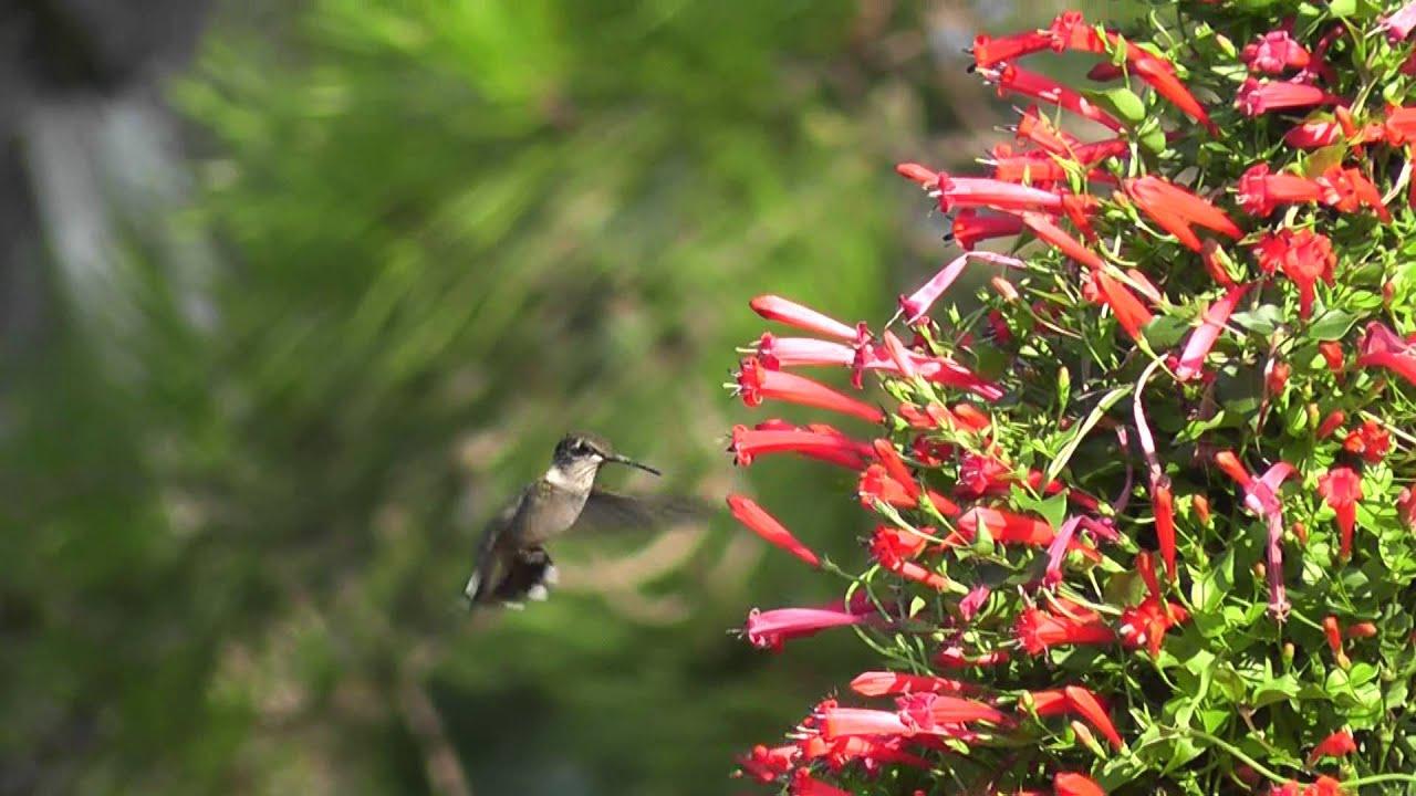 Ruby Throated Hummingbird Feeding From Manettia Cordifolia