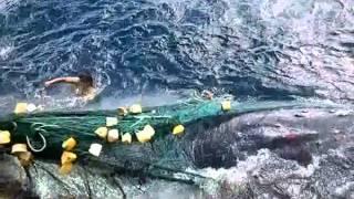 liberando a una ballena