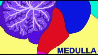 BRAIN: MEDULLA