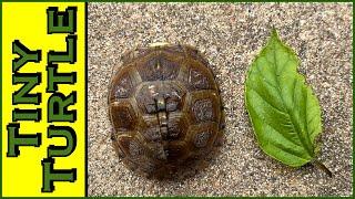 German Shepherd vs Tiny Turtle vs Manx Cat