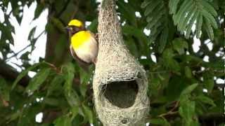Baya Weaver - Behaviour Thumbnail