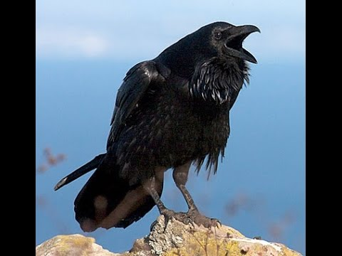 Inilah Misteri Burung Gagak, Pembawa Tanda Kematian !!