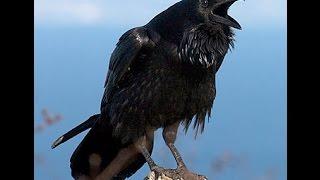 Inilah Misteri Burung Gagak Pembawa Tanda Kematian