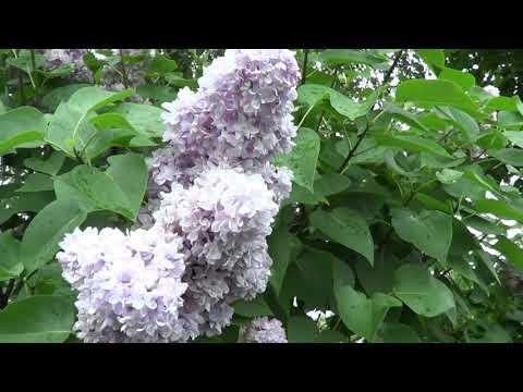Вопрос: Какими цветами цветут хламидомонады?