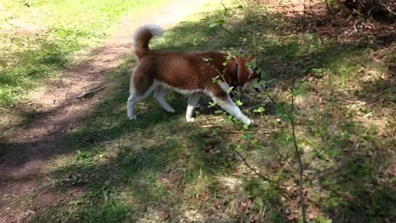 фото хаски волчьего окраса
