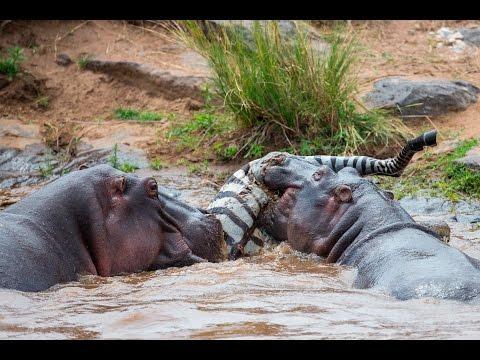 HIPPOS EAT ZEBRA & CROC FEEDING FRENZY: part 1