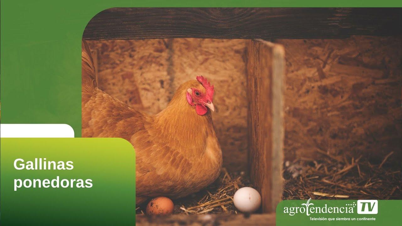 perdida de peso de pollo vivo a limpio para consumo