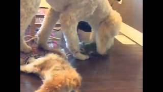 Dog Takes Shih Tzu Puppy For A Ride