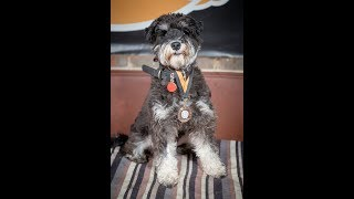 Bingo - Miniature Schnauzer - 3 Weeks Residential Dog Training