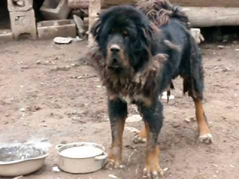 Ataque perros tibetanos. Dangerous Tibetan dogs. Yushu ...