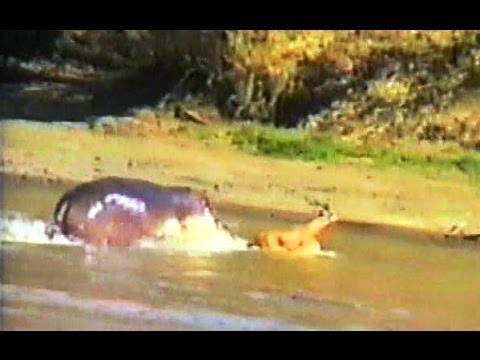 MOST AMAZING EVER Hippo Attacks Crocodile To Save Antelope.