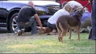 Breaking Up A Pit Bull Fight At A Dog Training Event