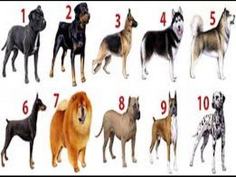 Raças De Cachorros Mais Perigosas Do Mundo