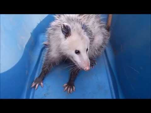 How aggressive are opossums?
