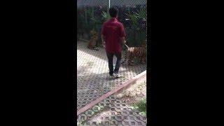 CRUELTY TO ANIMALS !!! Video Evidence! Tiger Kingdom Kathu Phuket Thailand