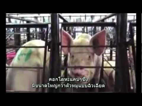 คำเตือน  การทรมานสัตว์  ดู MercyForAnimals.org