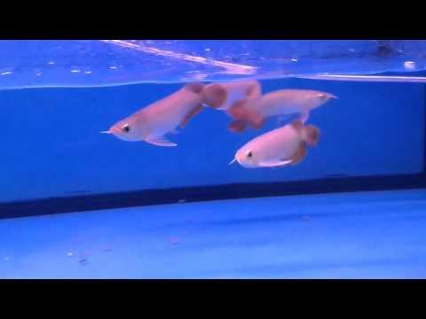 """ขายปลามังกรแดง Super red ขนาด 6""""-6.5"""" ราคา 1800..."""