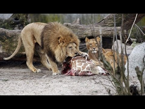 GIRAFFE KILLED FED TO LIONS