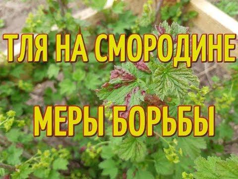 ТЛЯ НА СМОРОДИНЕ. Почему краснеют листья на смородине. Меры борьбы с тлей на смородине.