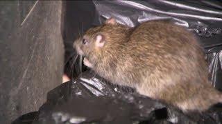 Rats taking over Brooklyn grandma`s apartment, she says