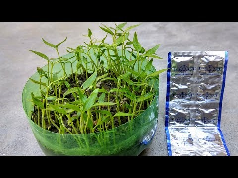 How to grow seed faster using Disprin | Fast and easy seed germination