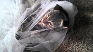 Cat trapped in bridal tulle
