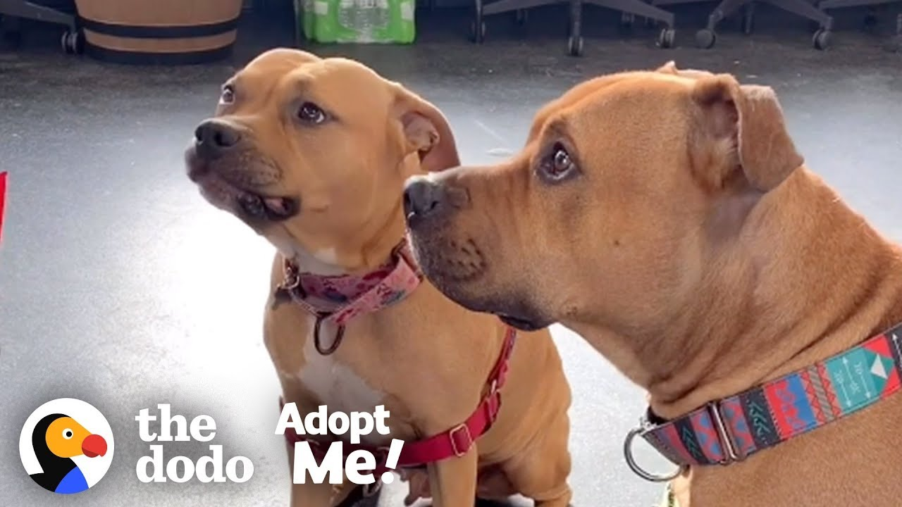 Animal Odd Couples Youtube pitties who get 'married' are looking for a home | the dodo adopt me!