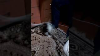 Черно-белый котенок турецкой ангоры. Тренировка ловкости.